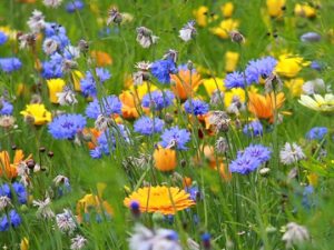 Annual Wildflower Seed
