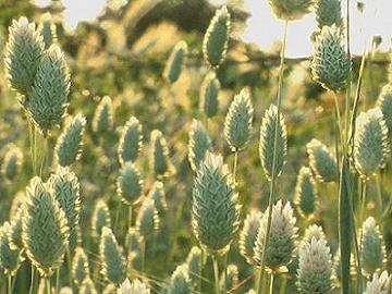 Canary Grass | Shepherd Seeds