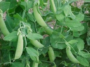 Forage Pea Seed