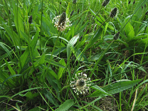 Herbal Ley Over Seeding