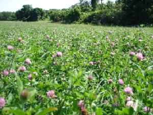 Two year sown legume fallow