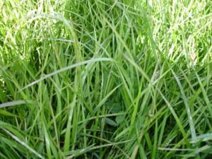 festulolium grass seed