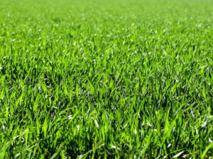 Agricultural Grass Seed