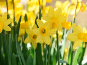 Daffodil Narccisi Bulbs