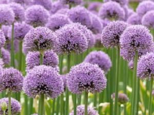 Allium Flower Bulbs