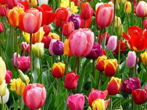 Tulip Flower Bulbs