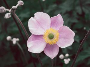 Anemone Flower Bulbs