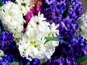 Hyacinth Flower Bulbs